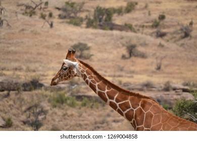 Giraffe on an African safari