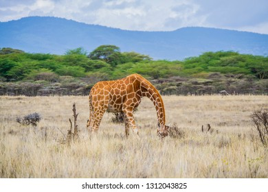 Giraffe on dry savanna grassland landscape
