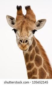 Giraffe on isolated background