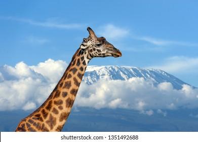Giraffe on Kilimanjaro mountain in National park of Kenya, Africa