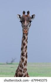 Giraffe on Maasai Mara Plains