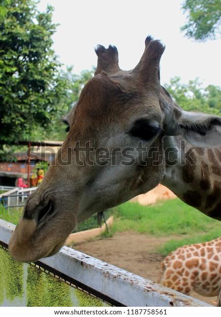 Giraffe On Secret Zoo Batu Malang Animals Wildlife Stock Image 1187758561