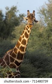 Giraffe on Sir Bani Yas Island in Abu Dhabi