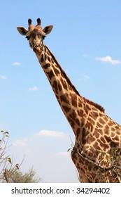Giraffe on sky . Ruaha National Park, Tanzania, Central Africa.