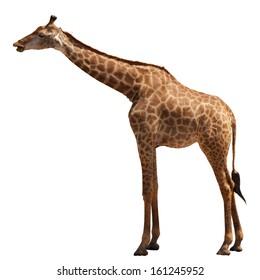 giraffe on white background