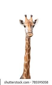 Giraffe on white isolated background.
