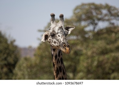 Giraffe with one hanging ear is looking into the camera