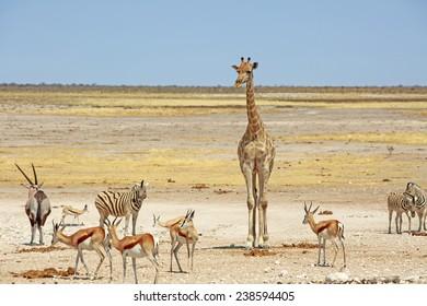 Giraffe, Oryx Zebra and Springbok around a waterhole in the Etosha Pan