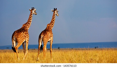 Giraffe over the background of a deep blue stormy African sky on the Masai Mara National Reserve - Kenya
