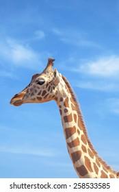 Giraffe over blue sky