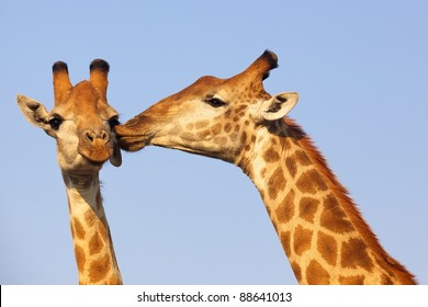 Giraffe pair bonding in the Kruger National Park, South Africa.