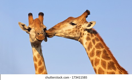 Giraffe pair kissing in the Kruger National Park, South Africa. Suitable as wildlife image or for special occasions such as Valentine's Day.