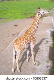 Giraffe in a park