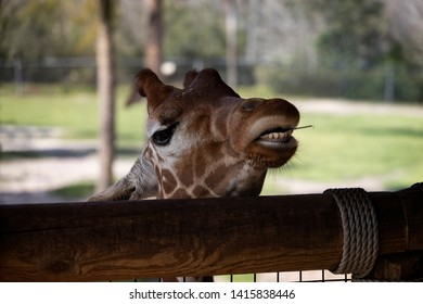 Giraffe peers over the fence a stem between his teeth from foliage he has eaten.