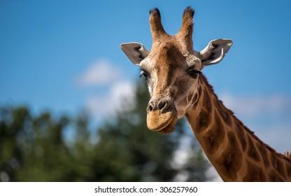 Giraffe Pictured again blue summer sky in Chester Zoo uk