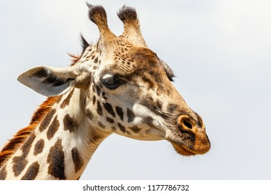 Giraffe portrait against the sky