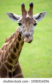 Giraffe portrait with a green background