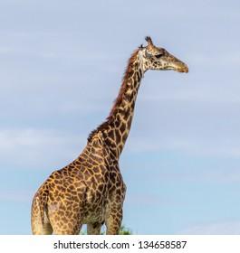 Giraffe portrait on the Masai Mara National Reserve - Kenya, Eastern Africa