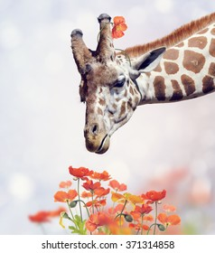 Giraffe Portrait and Poppy Flowers