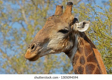 Giraffe in Private Game Reserve South-Africa