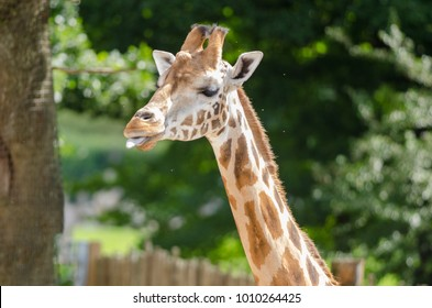 A giraffe in profile
