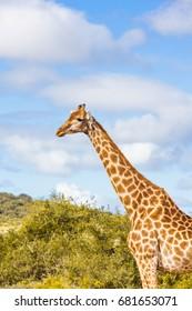 Giraffe profile and half body