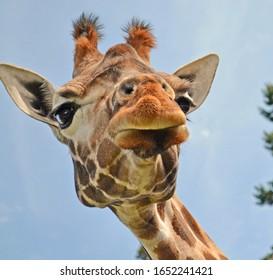 Giraffe quizzically looking down at camera