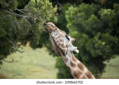 Giraffe reaching into the trees