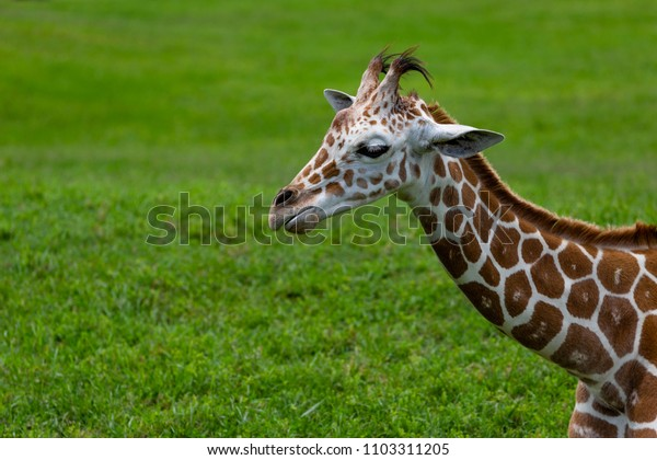 giraffe relaxing on a sunny day