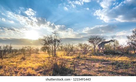 Giraffe, Safari, Morning Sun