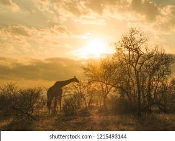 Giraffe, Safari, Morning Sun