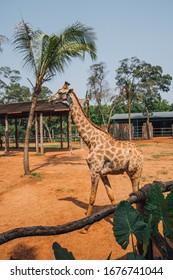giraffe in safari park in china on hainan island