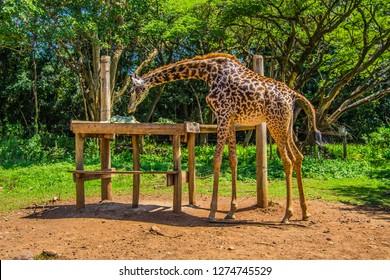 giraffe in a sanctuary