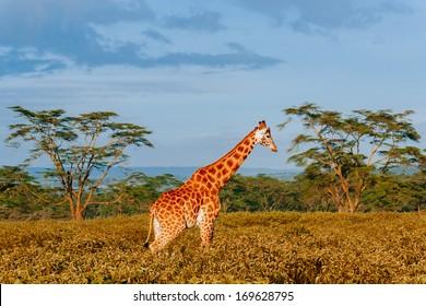 giraffe in savana