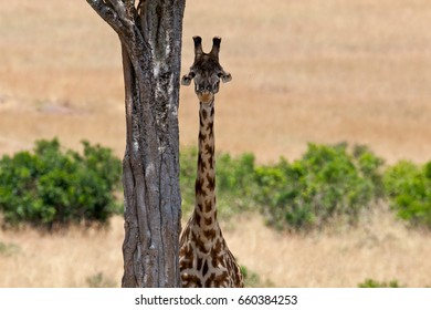 Giraffe in savannah. Kenya