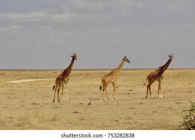Giraffe, Savannah, Serengeti, Tanzania, Africa