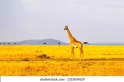 Giraffe in savannah. Savannah giraffe silhouette. Giraffe in nature. Giraffe landscape