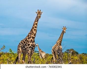 Giraffe, Savuti, Chobe National Park, Botswana