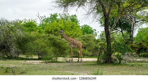 Giraffe in the Selous National Park, Tanzania