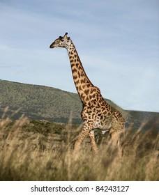 Giraffe at the Serengeti National Park, Tanzania, Africa