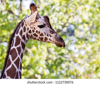 Giraffe showing it's long neck
