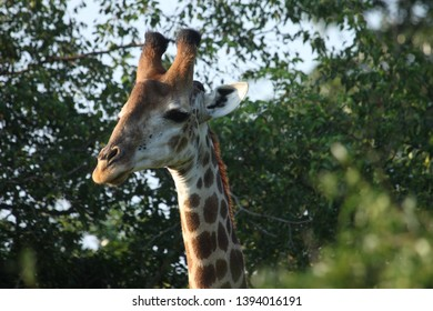 A giraffe side eye while chewing tree leaves