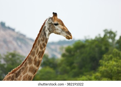 Giraffe side profile