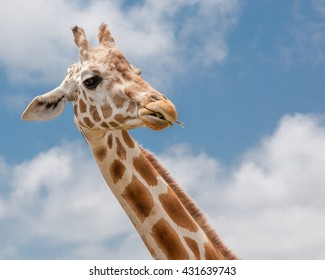 A giraffe silhouetted against a cloudy blue sky / African Giraffe / Giraffe silhouetted against a cloudy blue sky