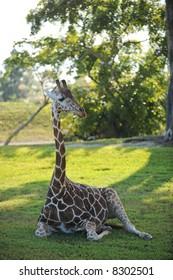 Giraffe Sitting 2