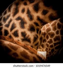 Giraffe skin close up