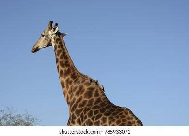 Giraffe, South Africa