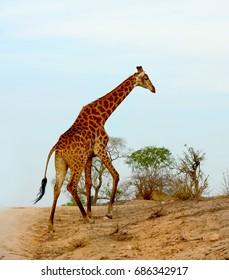 Giraffe in South Africa walking across a road