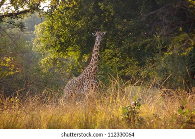 Giraffe, South Luangwa National Park, Zambia. This image was taken on foot in the early morning light on a walking safari. The giraffe gazes curiously into the camera