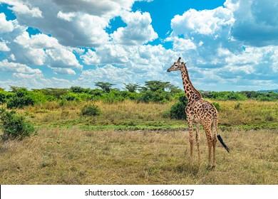 Giraffe spotted brown orange African plain East Kenya Green trees yellow grass wide